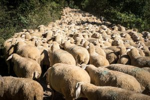 Why you'll never succeed online if you are like a flock of sheep all going the same way jammed in down a lane